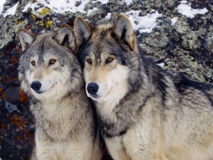 Due esemplari di 'Canis lupus'