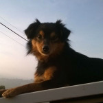 Il cane Saetta, smarrito ad Arcevia