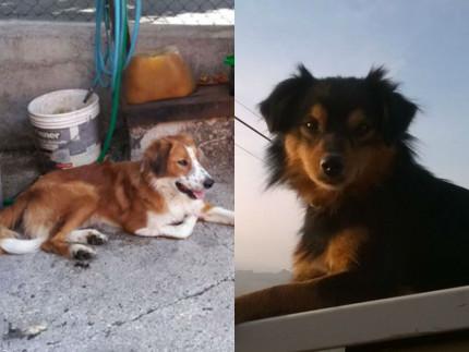 Il meticcio trovato a Ostra e il cane Saetta, smarrito ad Arcevia