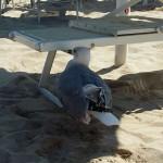 Gabbiano ferito in spiaggia a Senigallia