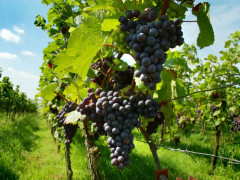 viticoltura, uva