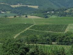 vigneti, verdicchio, colline, coltivazioni, agricoltura, vino