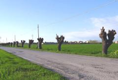 I mori gelsi in via Mattei dopo la potatura nella primavera 2017