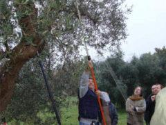 Potatura degli olivi